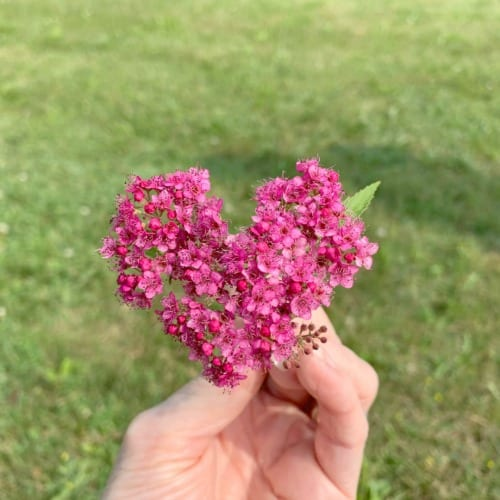 pink heart shaped flower