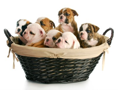 litter of puppies crowded in a basket