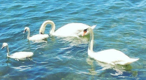 4 swans on the lake at the cottage
